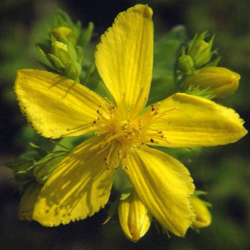 Bright Yellow Flowers Archives Herbal Encyclopedia