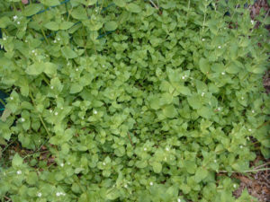 Chickweed growing at Cloverleaf Farm