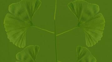 ginko leaf - maidenhair