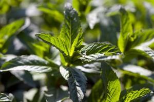 Mint - Herbal Encyclopedia