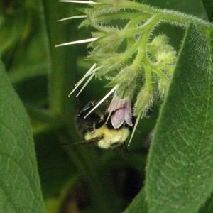 Bee on a Comfrey Flower